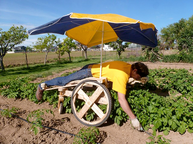 A person working in a garden, laying on a home-made wheeled bed with an attached umbrella, that allows him to lay face-down with his arms free to use garden tools or pull weeds as the wheels fit between the garden rows.